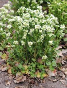 COCHLEARIA OFFICINALIS L.