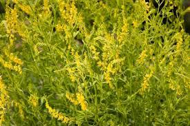 MELILOTUS OFFICINALIS L.