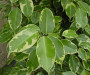 ficus-foglie-gialle_ng3