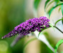 Buddleia-davidii-budleja-purple-1