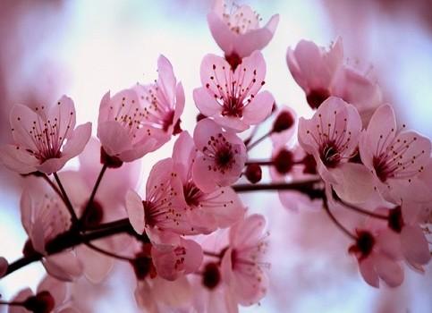 ciliegio-da-fiore_copertina