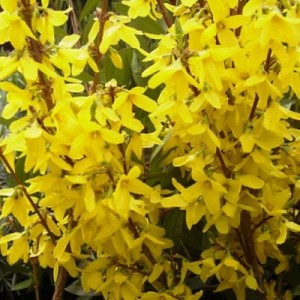 2_6_Forsythia x intermedia