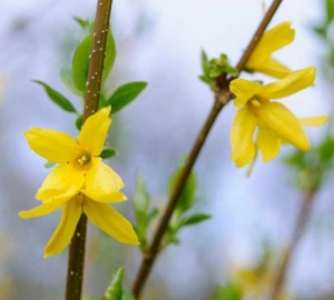Forsythia x intermedia Lynwood yellow flowering spring deciduous shrub good as hedge hedging 080414 08042014 08/04/14 08/04/2014 8 8th April 2014 Spring Sir Harold Hilliers Gardens Romsey Hampshire Photographer Jason Ingram spring flowering plant portraits