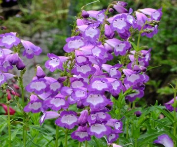 Penstemon-Czar
