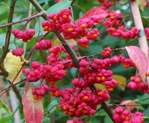 Euonymus-europeaus-Flower