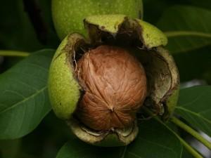 Juglans regia frutto