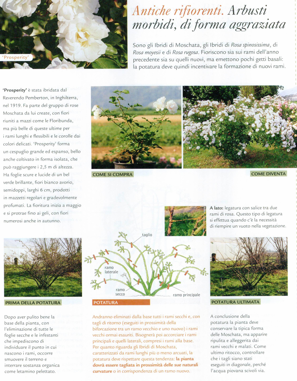 Rose Da Taglio Rifiorenti potatura delle rose con metodo biodinamico | come potare le rose